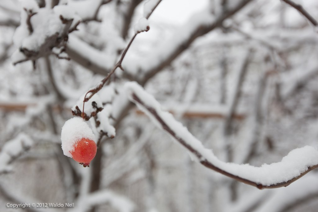 A lone berry covered in snow, 1Ds Mark III + 16-35mm F2.8 L
