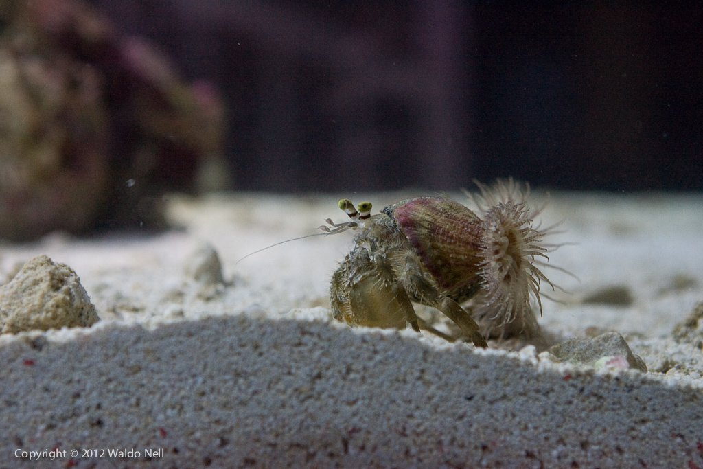 Anemone Hermit Crab loves to walk all around the tank