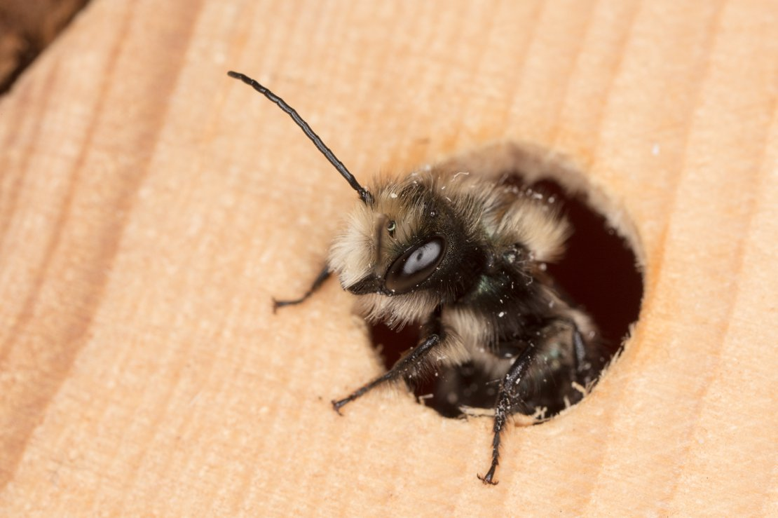 Mason bee about to leave home...