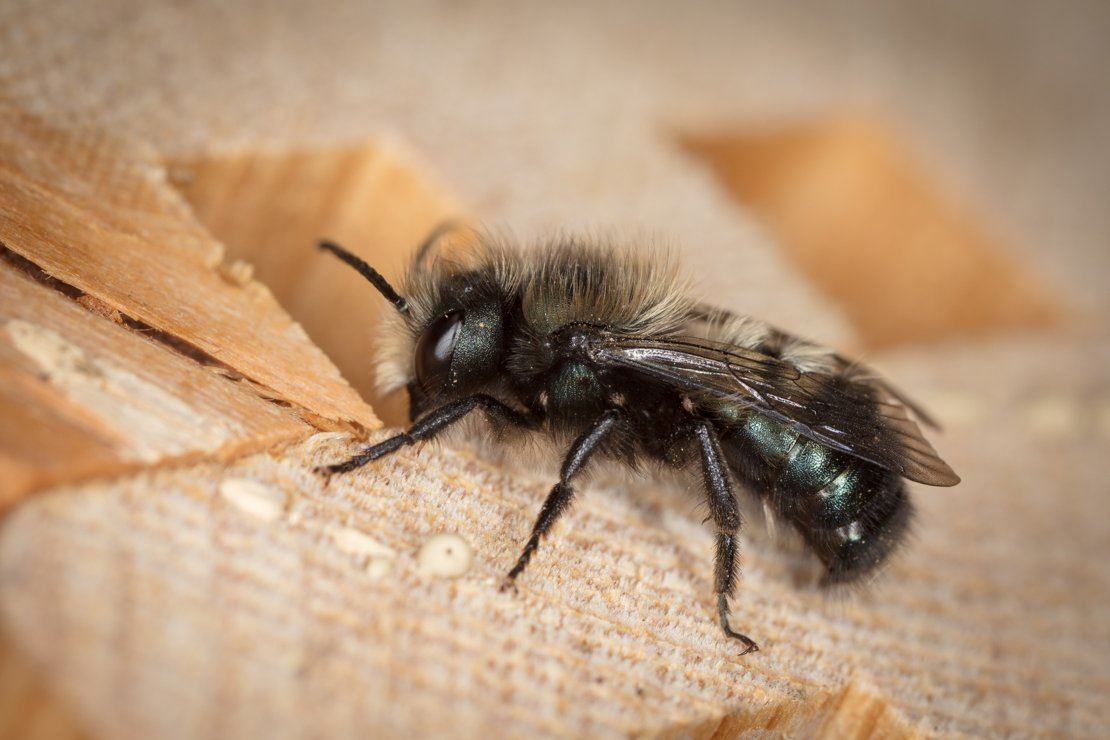 Mason Bee Just Hatched