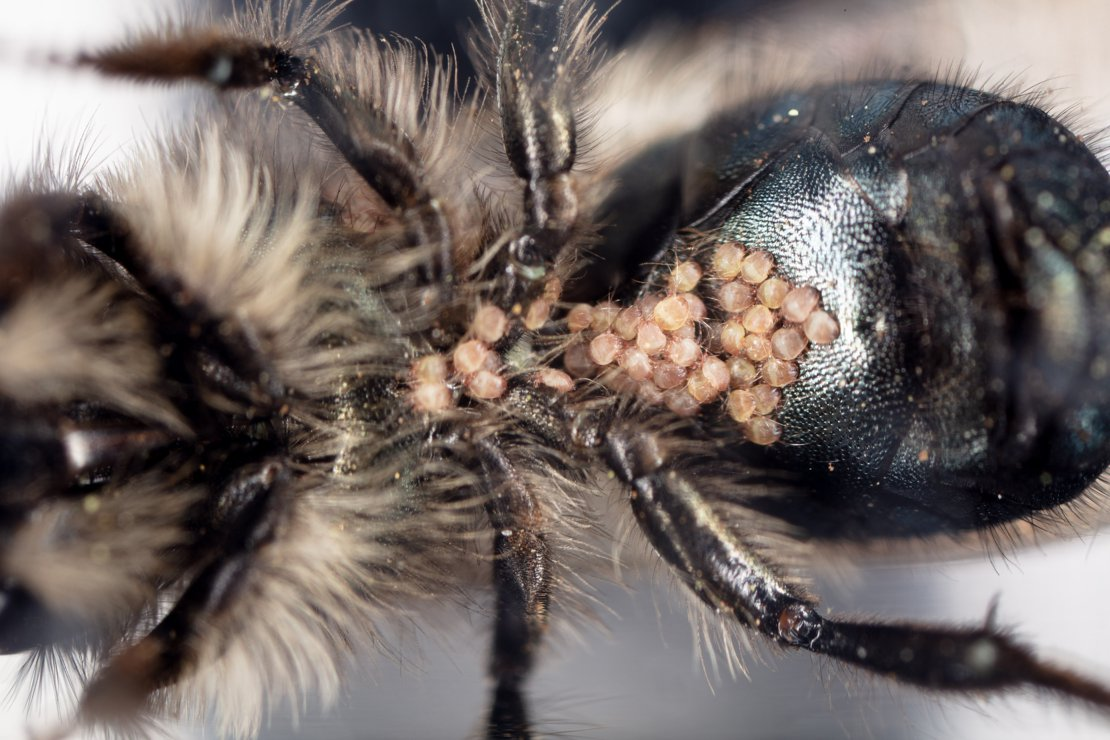 Mites on Bee's Abdomen